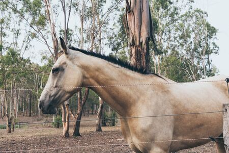 White horse with long mane portrait in motion. Spanish horse, andalusian