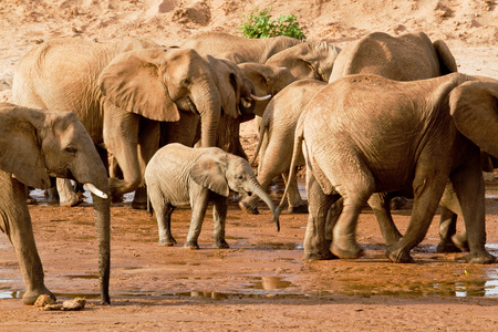 Baby elephant in midst of large animals Stock Photo