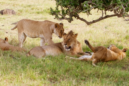 contented: Contented lions Stock Photo