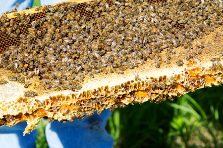 Bees gathered on honeycomb tray