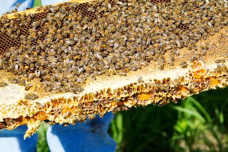 Les abeilles se sont réunis sur le plateau en nid d'abeilles Banque d'images - 25064067