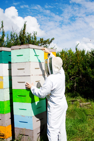 beekeeping: Worker checking that hives are healthy