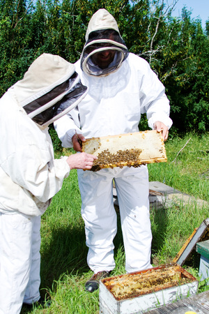 Workers checking health of bees