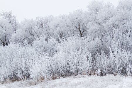 Trees covered in hoarfrost in winter