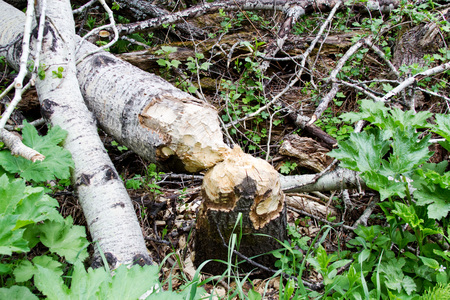 gnaw: Trees cut down by a beaver Stock Photo