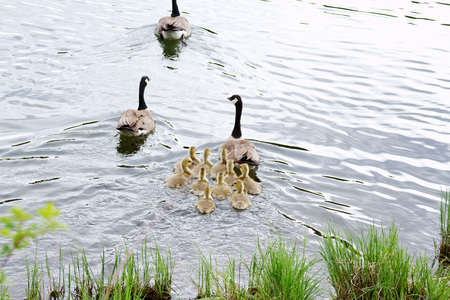 progeny: Geese family on lake