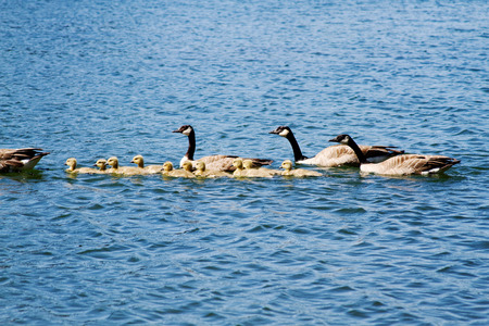 offsprings: Adult geese and goslings swimming on lake