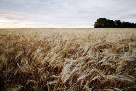 Field of ripe Durum Wheat