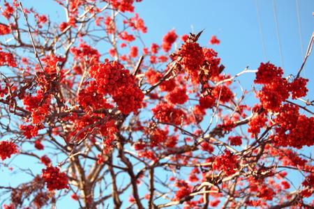 rowan: rowan Tree