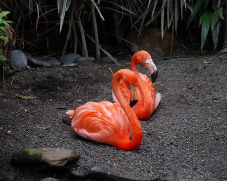 plummage: Two African Flamingos Stock Photo