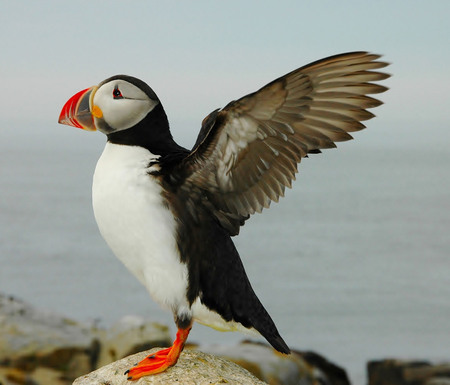 Eastern Puffin