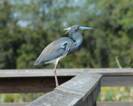 stock photos: Tri-Colored Heron Perched