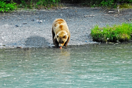 tolerate: Grizzly Bear Eating Salmon