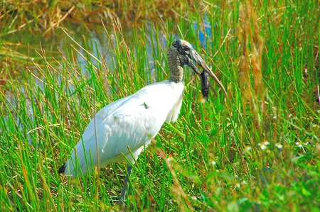 long legged: Wood Stork Eating Insect Stock Photo
