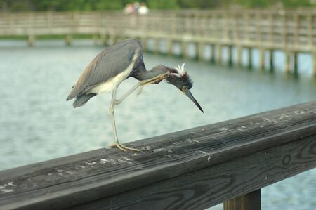 greyish: Tri-Colored Heron Scratching Stock Photo