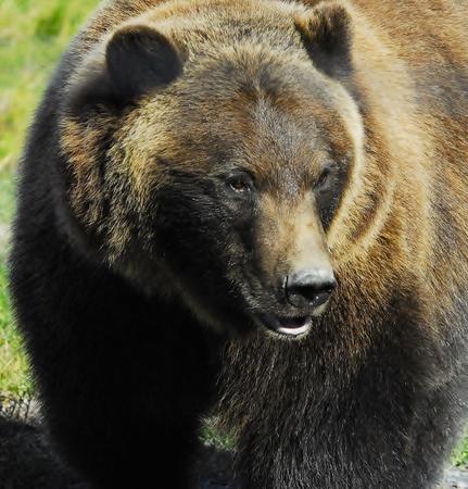 alaskan bear: Alaskan Grizzly Bear