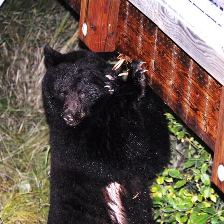 alaskan bear: Alaskan Black Bear