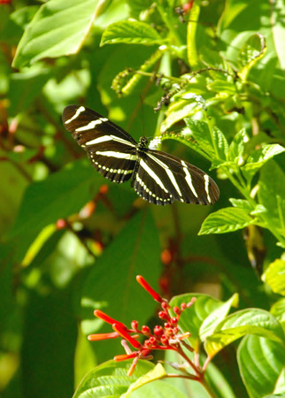 singly: Zebra Longwing Butterfly in Garden Stock Photo
