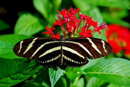 fine tip: Zebra Longwing Butterfly Stock Photo