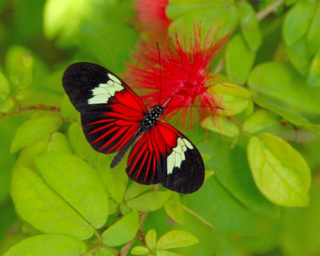 pollinators: Butterfly on Red Flower