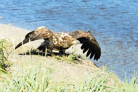 be or not to be: Young Eaglet Attempting Flight