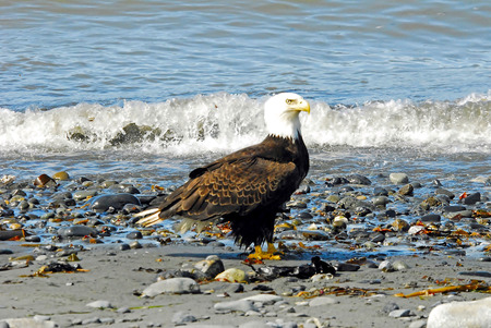 a large bird of prey: American Bald Eagle Perched on Beach