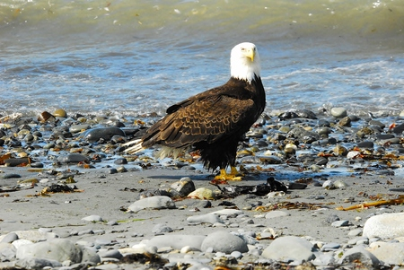 inlet: Bald Eagle Beside Inlet Waters