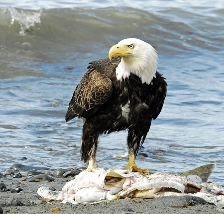 a large bird of prey: Eagle Eating Salmon on Shoreline