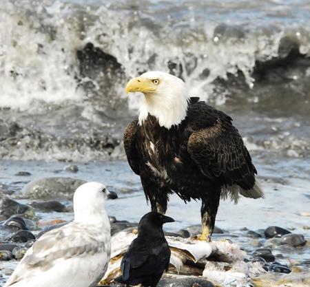 aguila americana: American Eagle Cerca del c�sped �spero Foto de archivo