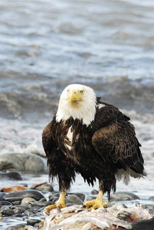 rips: American Eagle Perched on Salmon Stock Photo