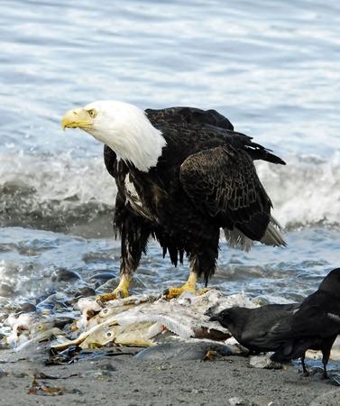 carcass: Eagle hoog op Salmon Karkas
