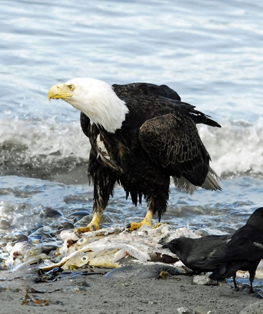 scavenge: Eagle Perched on Salmon Carcass
