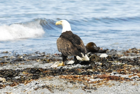a large bird of prey: American Eagle Looking across Cook Inlet Alaska Stock Photo
