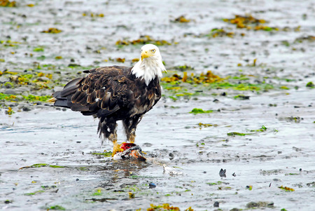 a large bird of prey: American Eagle Eating Carrion Salmon Stock Photo