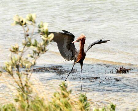 fish type: Reddish Egret Dancing