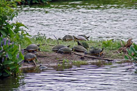 land turtle: Florida Land Turtles