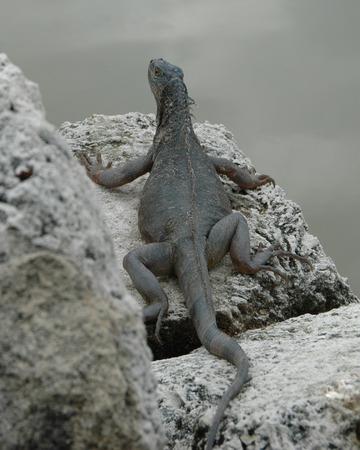 cold blooded: Florida Iguana Stock Photo