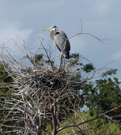 beine spreizen: Großes Blau-Reiher auf Nest Lizenzfreie Bilder