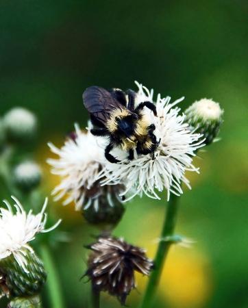 seemingly: Bee Seeking Pollen Stock Photo