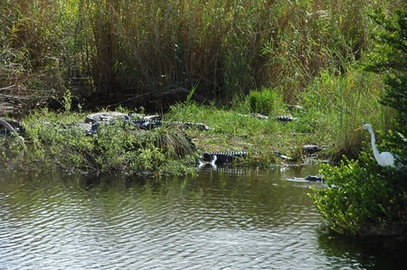 alligators: Many Alligators with Great Egret