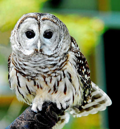 keen: Barred Owl