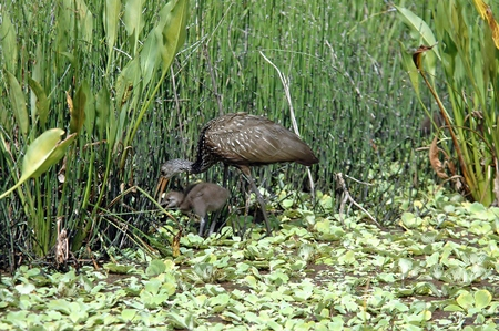 long legged: Limpkin with Young Chick Stock Photo