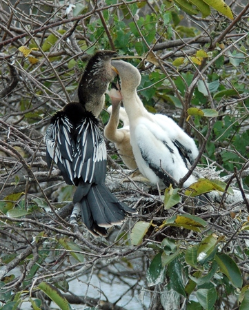 swapping: Anhingas Swapping Food