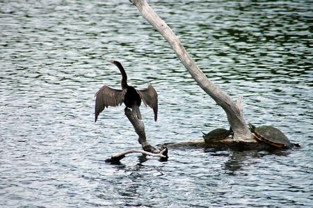 swimming bird: Anhinga Drying Wings Stock Photo