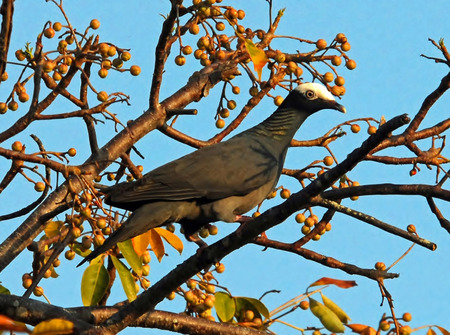 migrated: White Crowned Pigeon Perched in Treetop Stock Photo