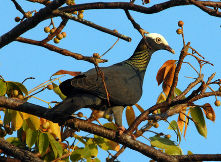 migrated: White Crowned Pigeon in Treetop