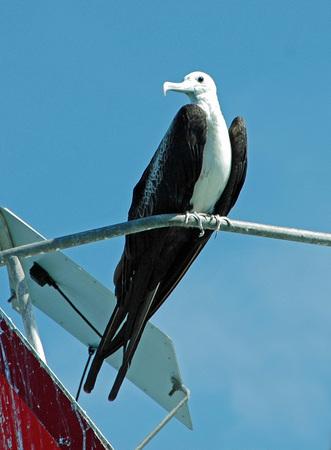 frigate: Frigate Bird Perched on Rail