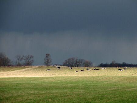Cows awaiting the storm Stock Photo
