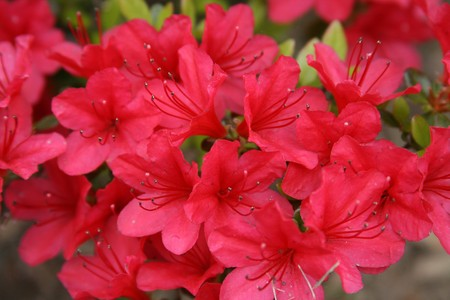 Blooming red azalea plant Stock Photo