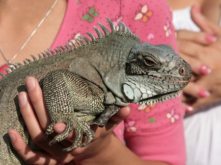 Closeup of an Iguana resting in hands of a girl
